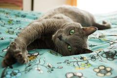 Gato cinzento de encontro Fotos de Stock