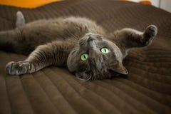 Gato cinzento de encontro Fotografia de Stock Royalty Free