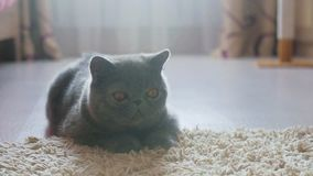 Gato cinzento do shorthair em um assoalho cinzento vídeos de arquivo