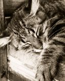 Gato cinzento do sono Fotografia de Stock