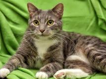 Gato cinzento e branco em um verde Foto de Stock Royalty Free
