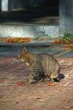 Gato cinzento em pavimentos imagens de stock
