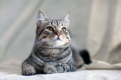 Gato cinzento engraçado em um sofá Imagem de Stock Royalty Free