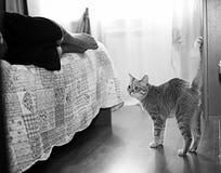 Gato cinzento engraçado em um sofá Fotos de Stock Royalty Free