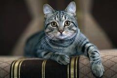 Gato cinzento engraçado em um sofá Fotos de Stock