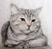 Gato cinzento gordo imagem de stock