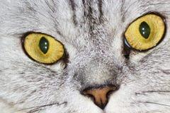 Gato cinzento grande Fotos de Stock Royalty Free