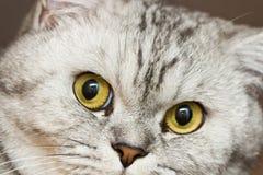 Gato cinzento grande Imagens de Stock