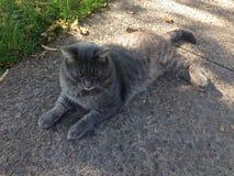 Gato cinzento grande foto de stock royalty free