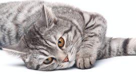 Gato cinzento isolado Foto de Stock Royalty Free