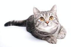 Gato cinzento isolado Fotografia de Stock