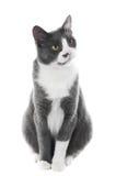 Seie cinzento do gato Imagem de Stock Royalty Free