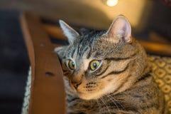 Gato cinzento listrado Imagem de Stock Royalty Free