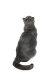 Gato cinzento Serie fotos de stock royalty free