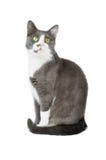 Gato cinzento Serie foto de stock