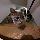 Gato cinzento pequeno Fotografia de Stock