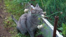 Gato cinzento que anda entre a cebola verde aumentada no jardim video estoque