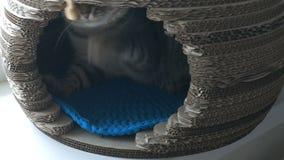 Gato cinzento que encontra-se na casa do animal de estimação e que agarra a vara de madeira filme