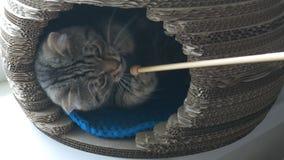 Gato cinzento que encontra-se na casa do animal de estimação e que joga com vara de madeira vídeos de arquivo