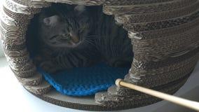 Gato cinzento que encontra-se na casa do animal de estimação e que olha a vara de madeira video estoque