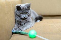 Gato cinzento que joga com brinquedos do gato Fotos de Stock Royalty Free