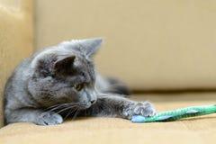 Gato cinzento que joga com brinquedos do gato Imagem de Stock