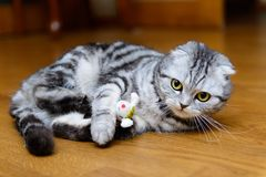 Gato cinzento que joga com brinquedos do gato Foto de Stock