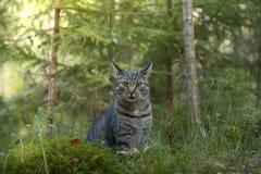 Gato cinzento que joga na floresta e que olha a câmera Fotografia de Stock