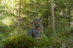 Gato cinzento que joga na floresta e que olha a câmera Imagem de Stock Royalty Free