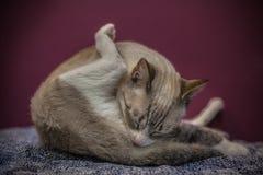 Gato cinzento que lambe-se imagens de stock