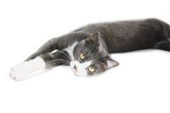 Gato cinzento Serie Foto de Stock Royalty Free