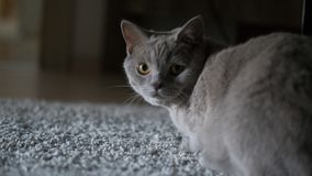 Gato cinzento que olha a câmera imagem de stock royalty free