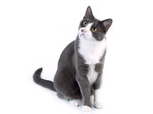 Gato cinzento que olha no fundo branco imagem de stock royalty free