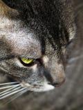 Gato cinzento que olha para baixo Fotos de Stock