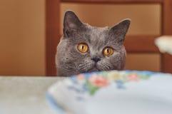 Gato cinzento que senta-se na tabela Fotos de Stock Royalty Free