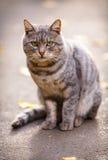 Gato cinzento que senta-se na terra Foto de Stock