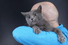 Gato cinzento que senta-se no ombro de um homem imagens de stock
