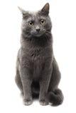 Gato cinzento que senta-se sobre o fundo branco Fotografia de Stock Royalty Free