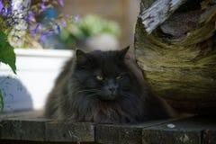 Gato cinzento sério com o retrato dos olhos maus fotos de stock