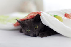 Gato cinzento sob o cobertor Fotografia de Stock Royalty Free