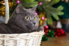 Gato cinzento sob uma árvore de Natal Fotografia de Stock