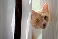 Gato cogido detrás de la cortina Foto de archivo