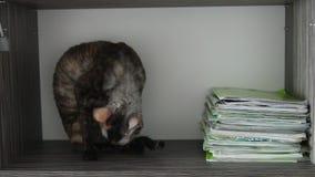 Gato coloreado Rex de Cornualles en una caja almacen de video