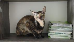 Gato coloreado Rex de Cornualles en una caja almacen de metraje de vídeo