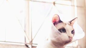 Gato com colar, gato ap?s a cirurgia, dor nos gatos, animais de estima??o dolorosos, Anti-Bi protetor pl?stico do colar da recupe imagens de stock
