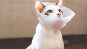 Gato com colar, gato ap?s a cirurgia, dor nos gatos, animais de estima??o dolorosos, Anti-Bi protetor pl?stico do colar da recupe imagem de stock