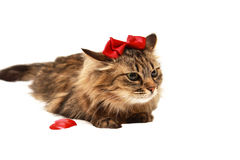 Gato com com uma curva vermelha em sua cabeça Fotos de Stock