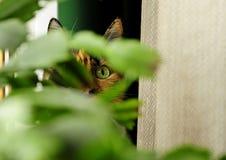 Gato com cor brilhante, olho de gatos Fotos de Stock