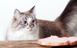 Gato com fome novo Foto de Stock Royalty Free