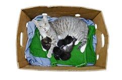 Gato com gatinhos Fotos de Stock Royalty Free
